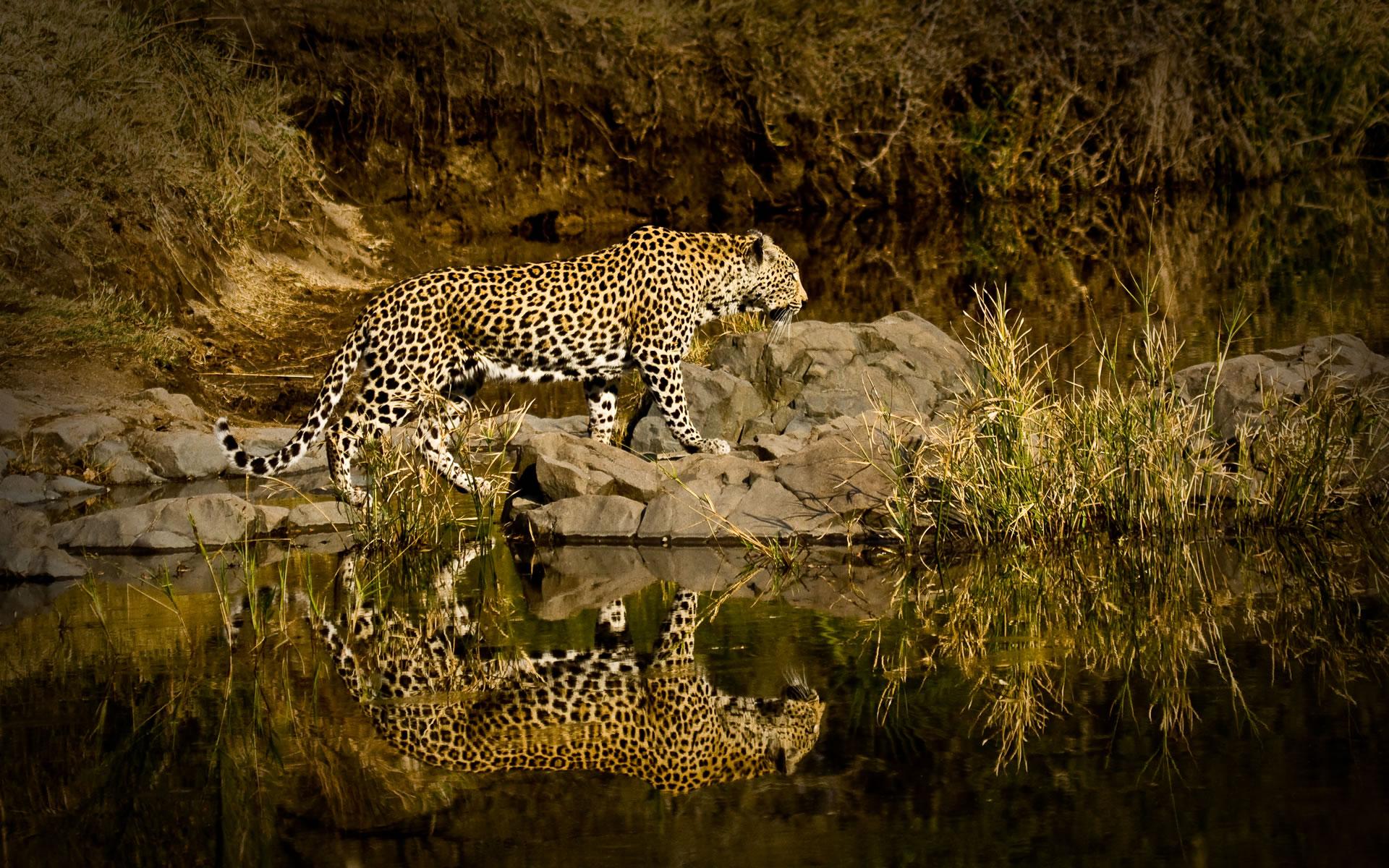 leopard-reflection