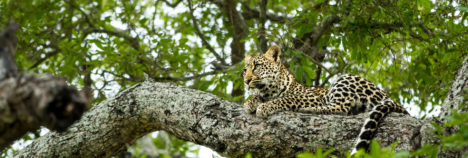 Ngala's confiding leopards