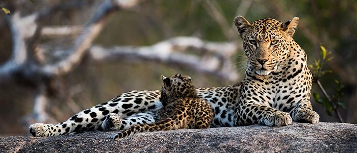 Graham Wood Leopard Londolozi