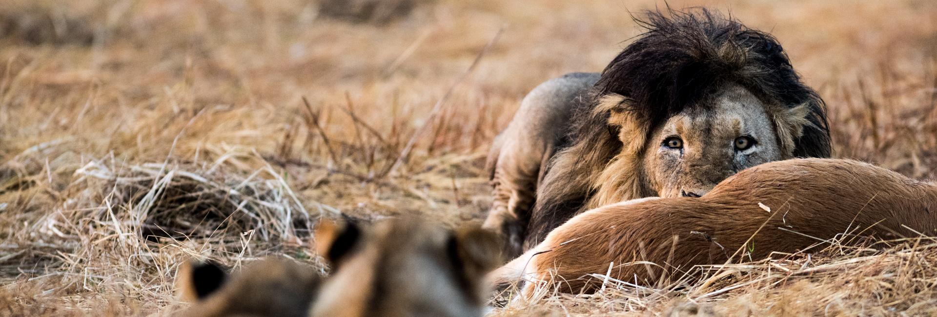 Ngala Safari Lodge Lion Kill Graham Wood