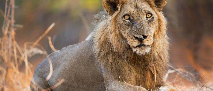 Ivory Lodge Lions Sands Lion Kruger Park Safari