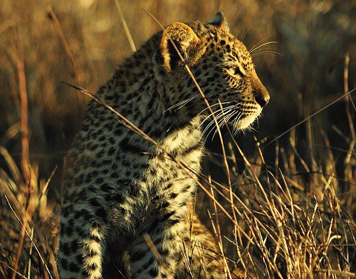 Lions Sands Sabi Sands Luxury Safari Leopard
