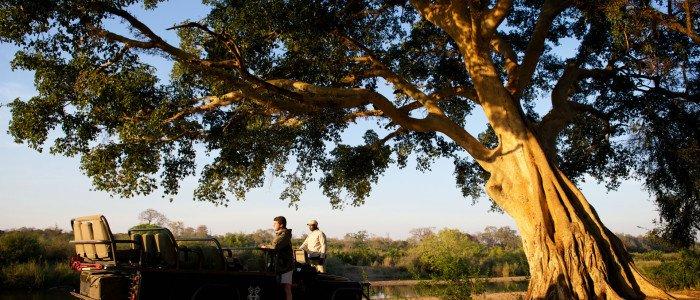 Londolozi Fig Tree Sabi River Kruger Park