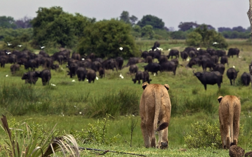 Lions_Duba_Dec-2011_BJoubert20111201_0127