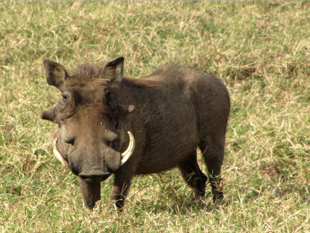 Warthog,_male,_Serengeti