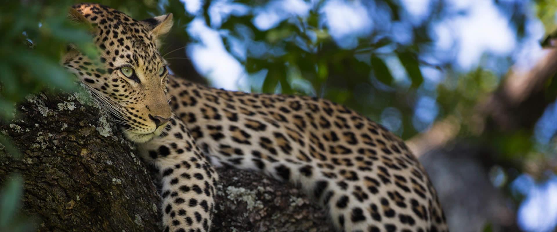 Zarafa Camp Leopard Iconic Africa