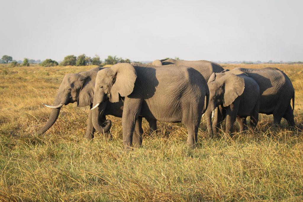 Elephant_Herd
