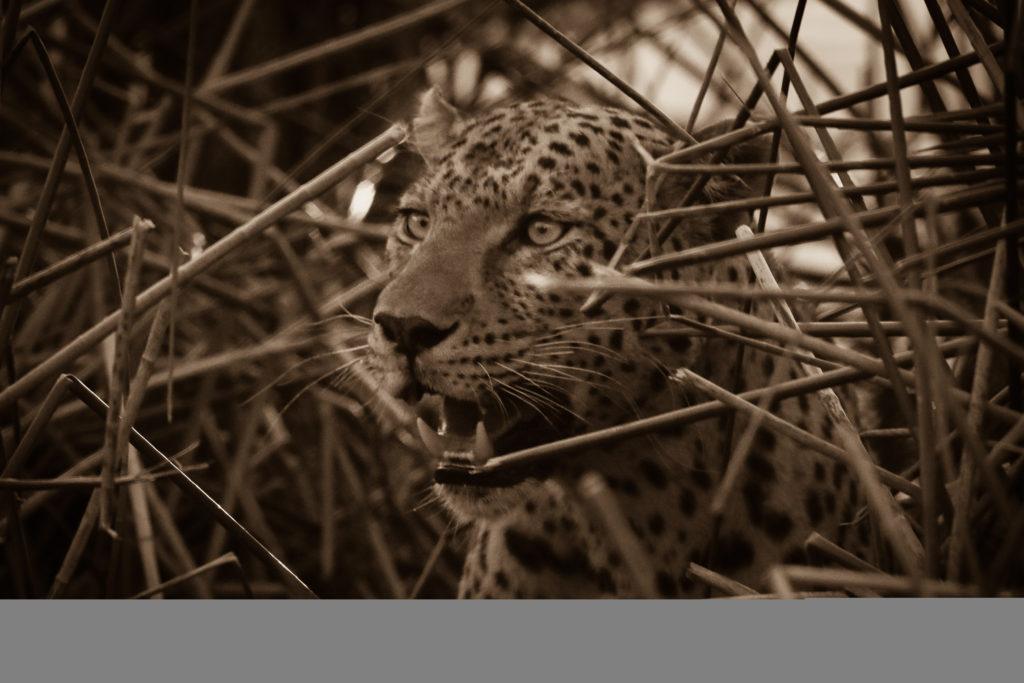 Leopard_Reeds
