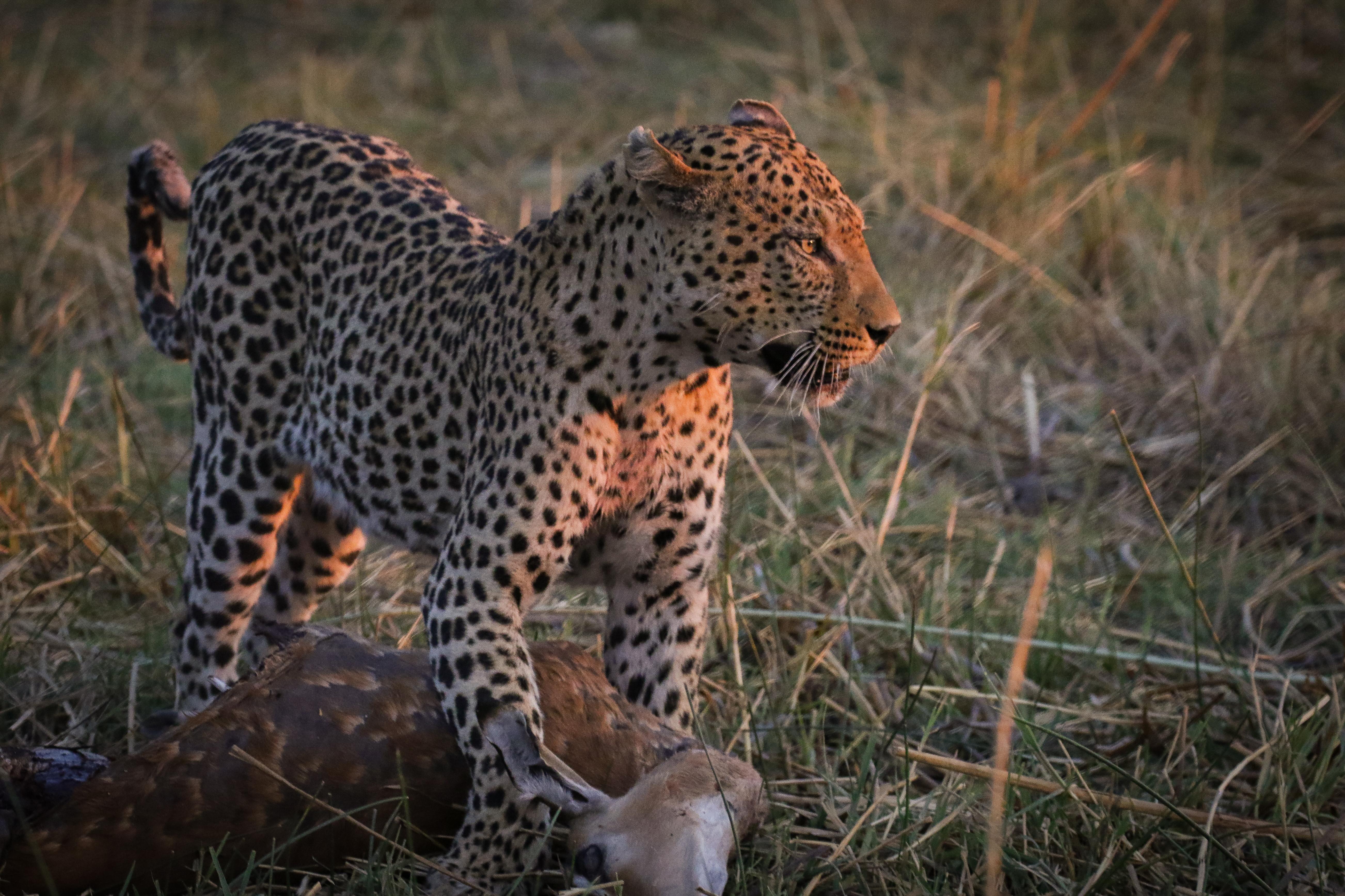 Leopard_With_Kill