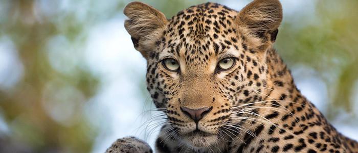 Botswana-Safari-Okavango-Safari-Leopard-Banner-3