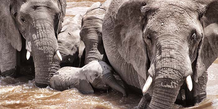 AW Elephant crossing the Mara - Aug 12