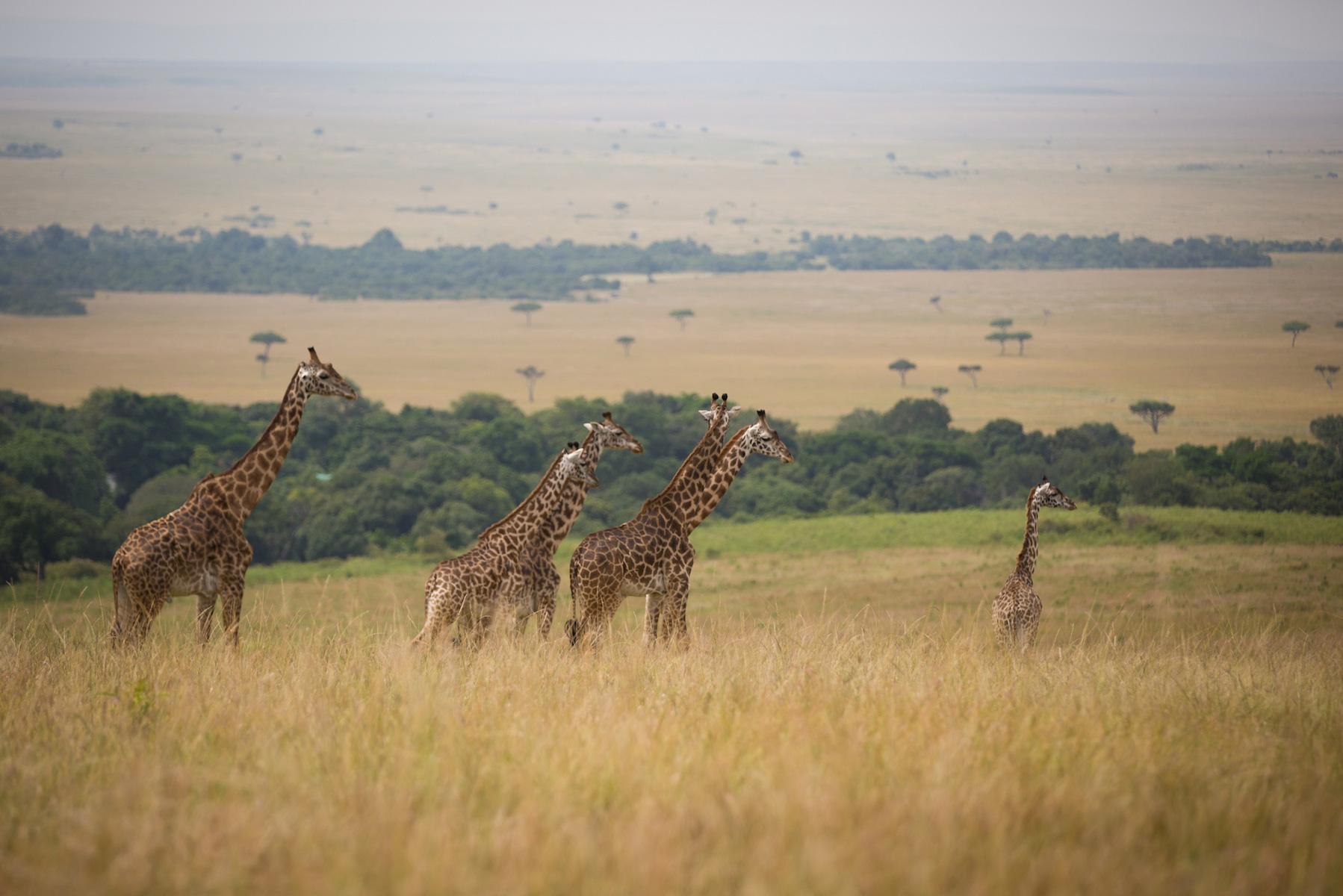 girraffe-kenya-walk-optimised