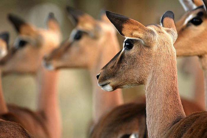 chobe-beyond-under-canvas-game-drive-impala