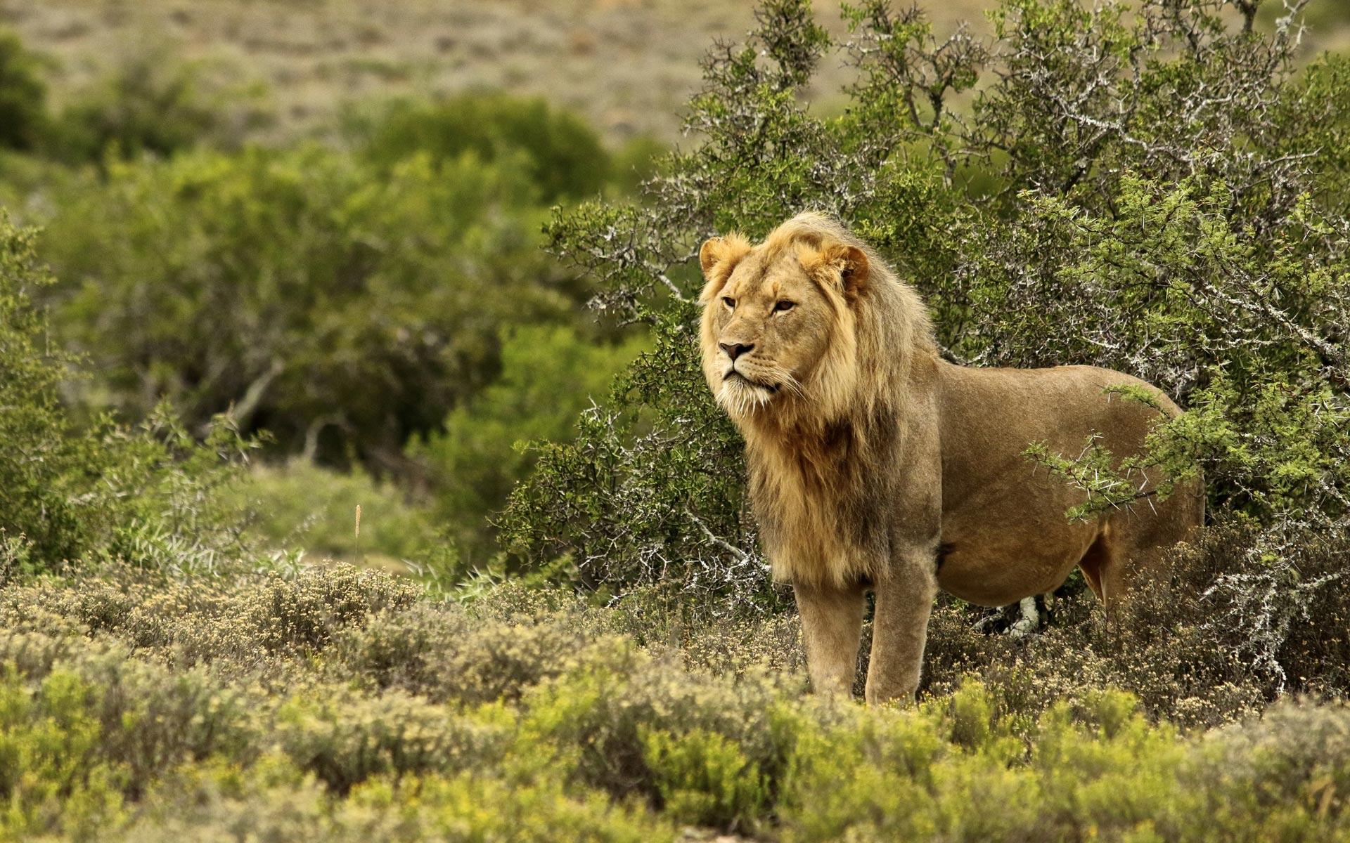 iconic-africa-male-lion-madikwe-luxury-african-safaris