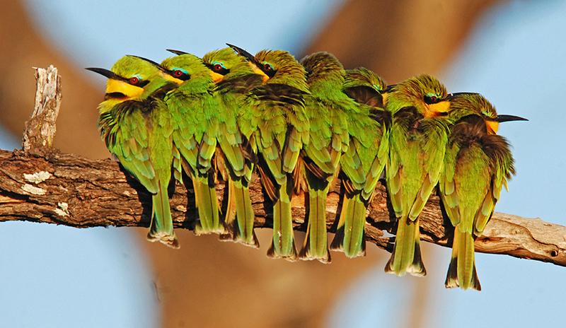 Bee-eaters Okavango Safari Delta Iconic Africa Safaris