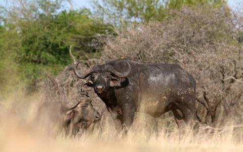 Buffalo Walking Safaris Iconic Africa