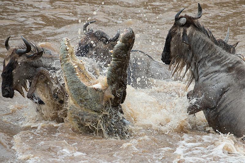 Crocodile Attack Great Migration Angama Mara Tanzanaia Masaai Mara