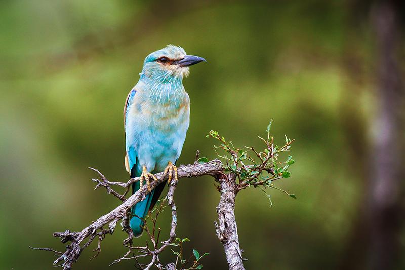 European Roller Walking Safaris Birds Iconic Africa