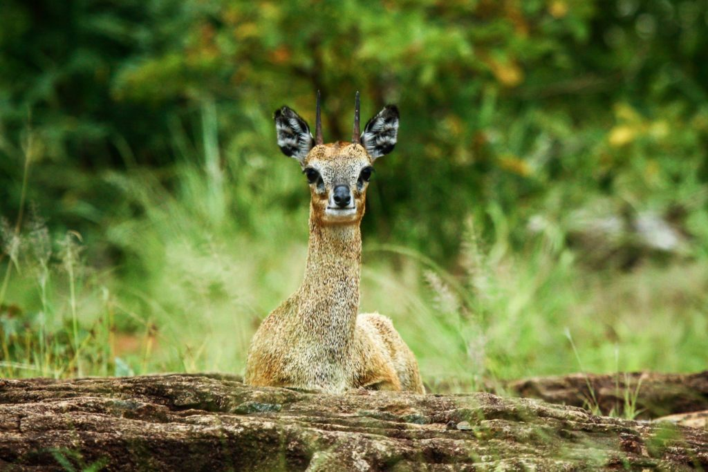 Game Reserve vs National Park Whats The Difference Duiker
