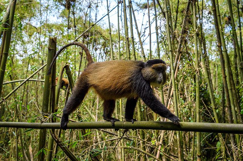 Golden Monkeys Gorrila Treks Rwanda Iconic Arica
