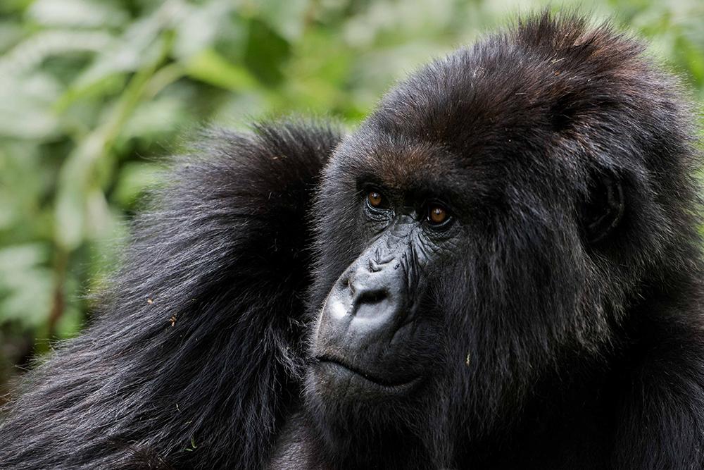 Gorilla Treks Rwanda Uganda Iconic Africa
