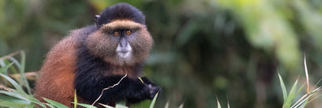 See the glorious Golden Monkeys too