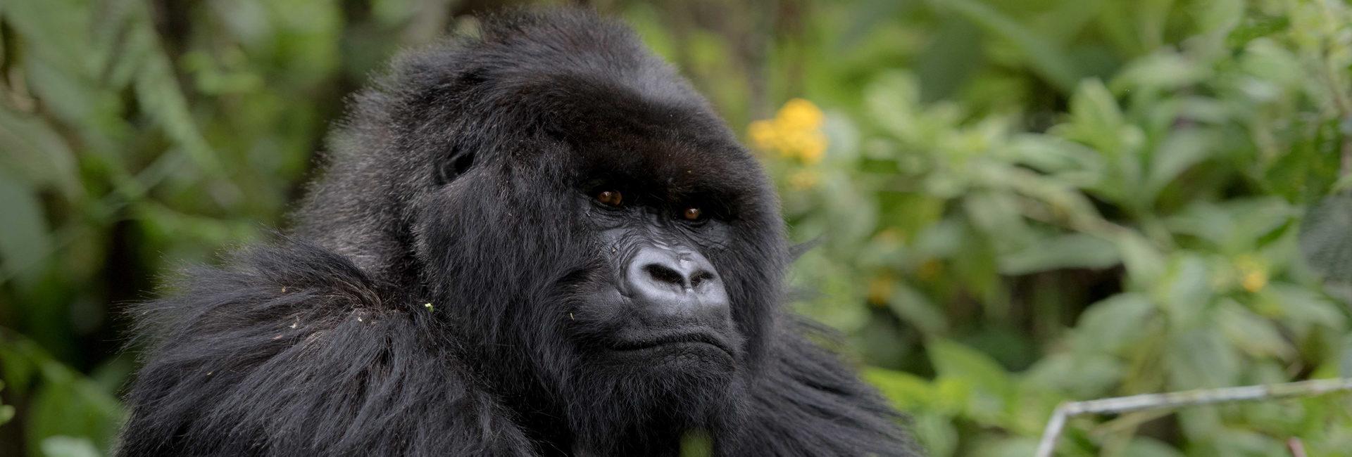 Get up close to Gorillas
