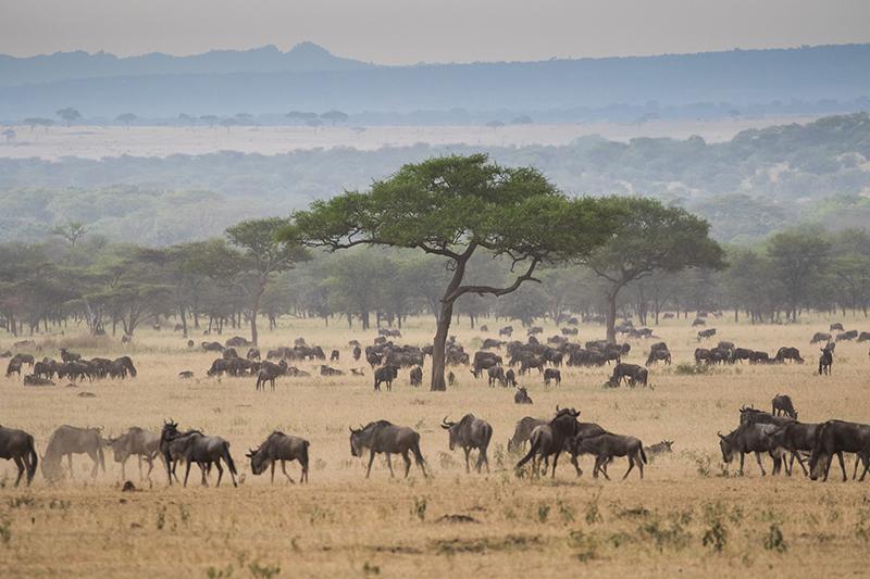 Great Migration Tanzania Masaai Mara East Africa Safaris 2