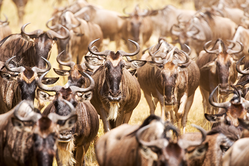 Great Migration Tanzania Masaai Mara East Africa Safaris Angama Mara 2