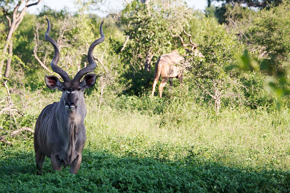 Luxury Kirkmans Camp Kudu