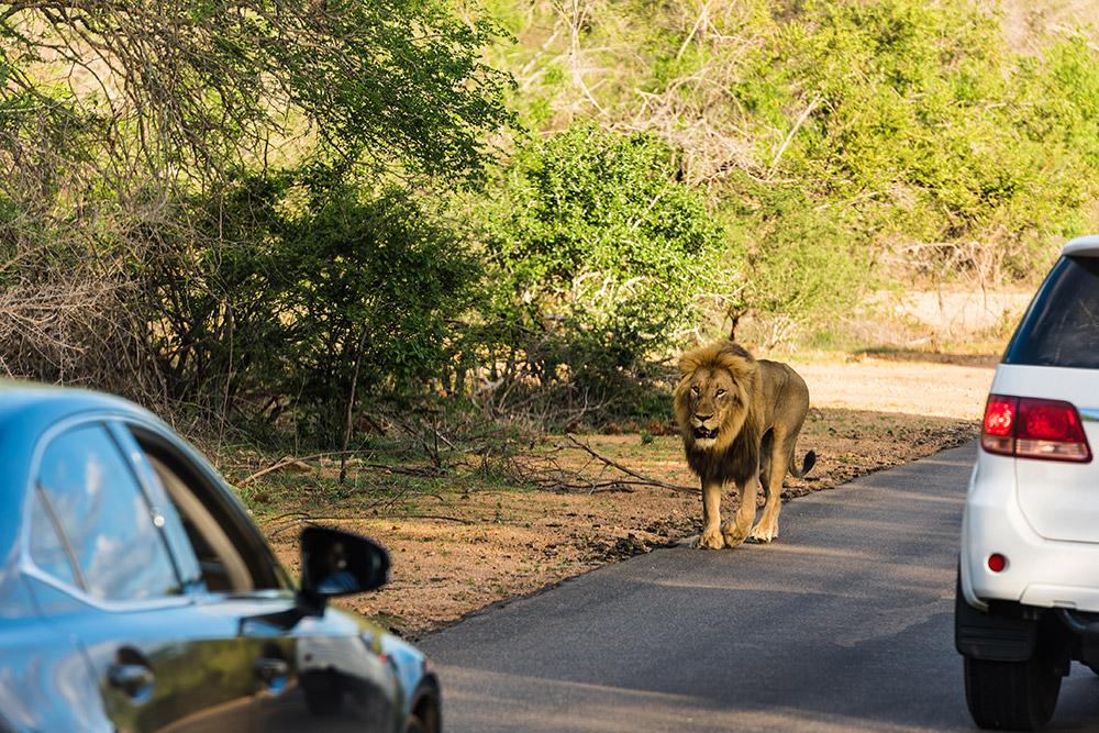 National Park vs Game Reserve Lion Road
