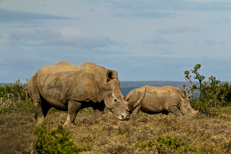 Rhino Walking Safaris iconic Africa