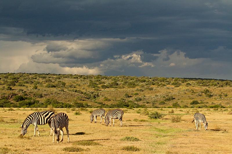 Walking Safaris Iconic Africa Zebras