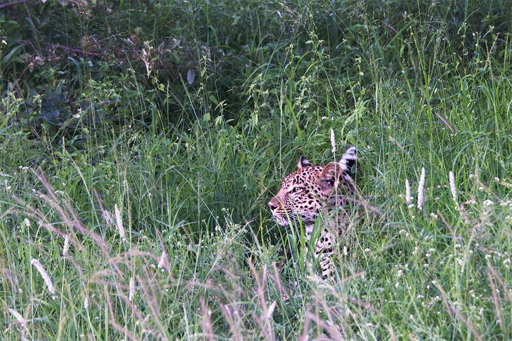 Kirkmans Camp Leopard