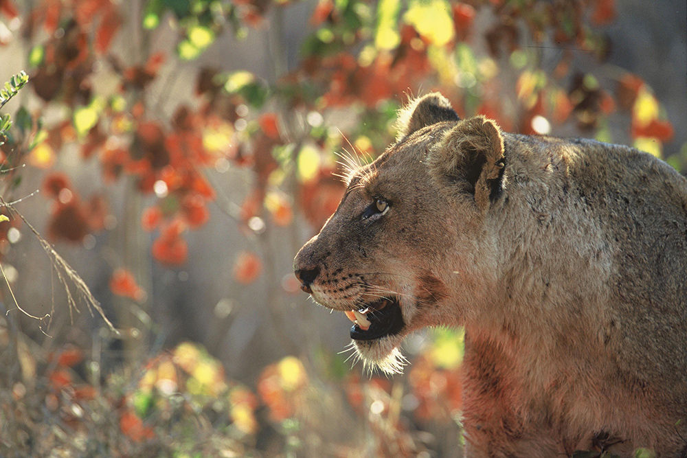 Dulini Lodge Lion