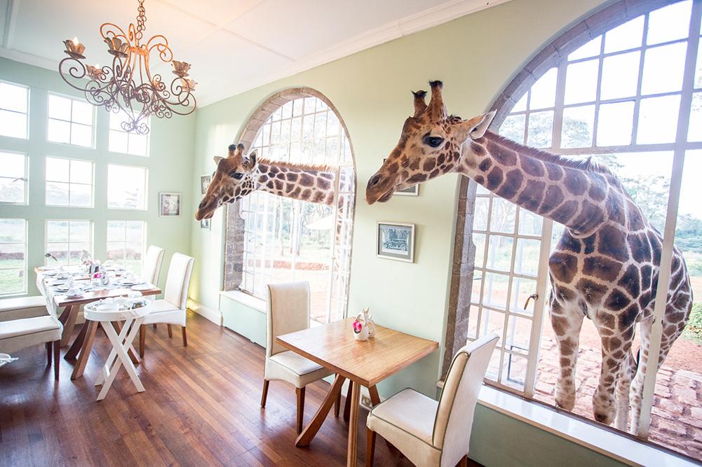Giraffe Manor Dinning Room Rothchild Giraffes