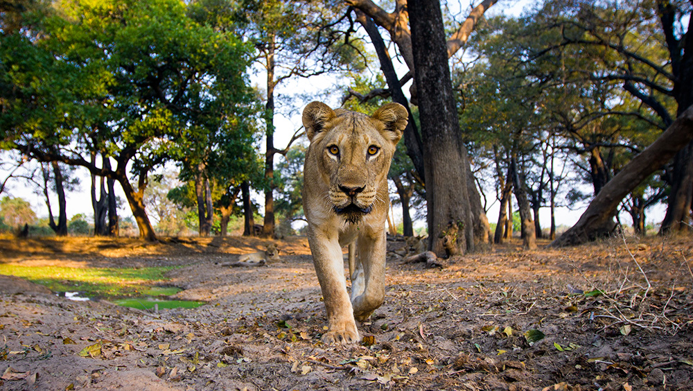 Mchenja Zambia South Luangwa - The South Luangwa is renowned for its world class predator action