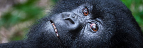 Help conserve the Great Apes of Rwanda