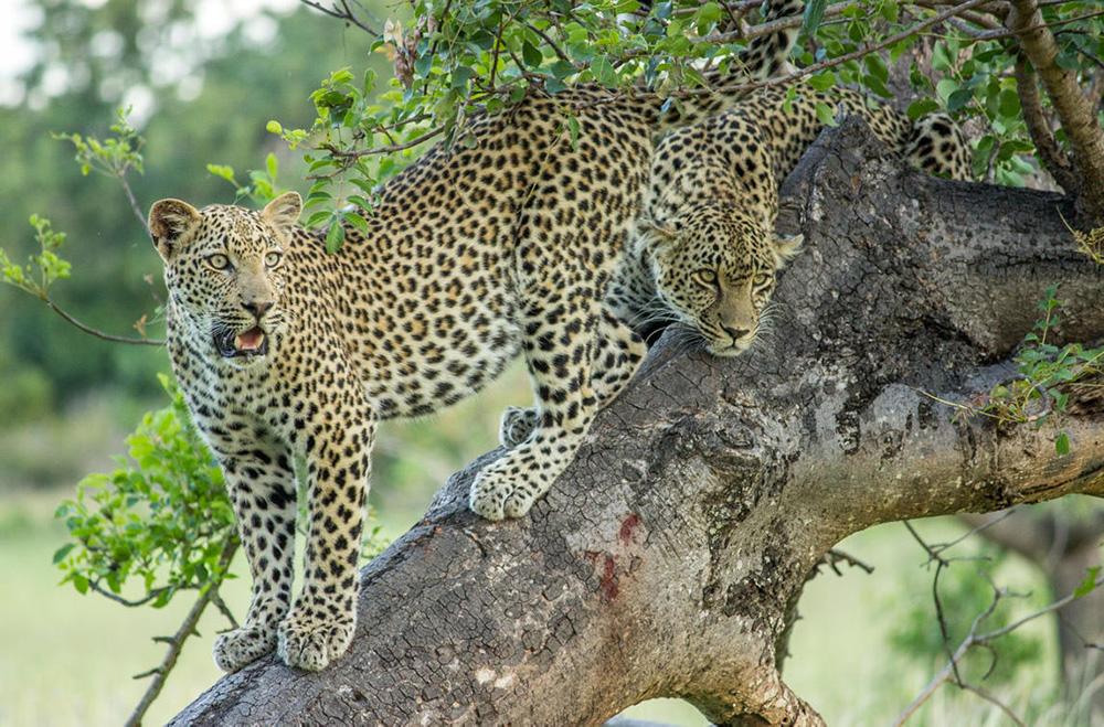 Get up-close to some big cats Cheetah Plains Sabi Sands