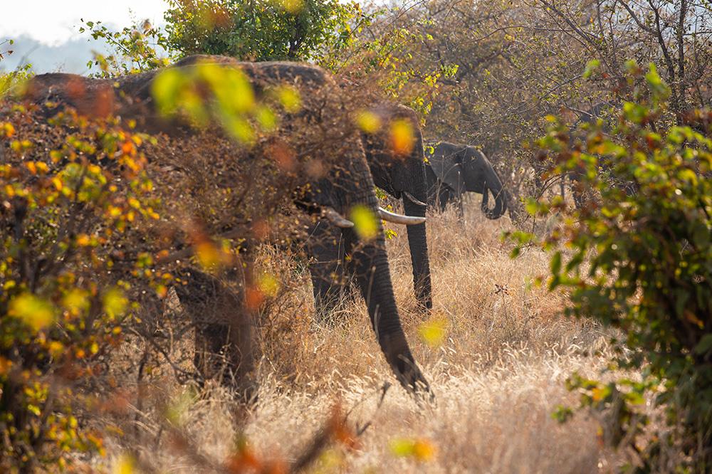 Mpala Jena Elephants